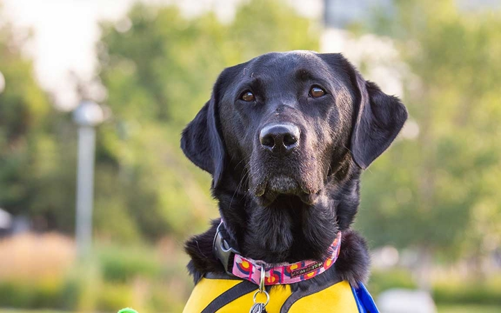 A photo of a black Labrador retriever in front of Children's Hospital Colorado in Aurora.