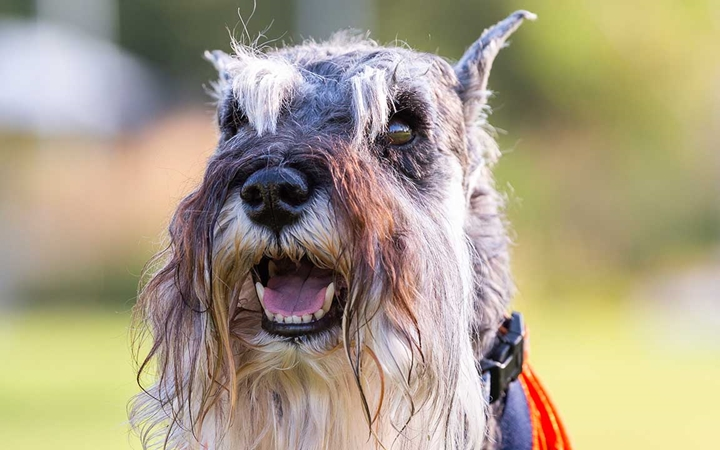 A photo of a miniature schnauzer in front of Children's Hospital Colorado in Aurora.